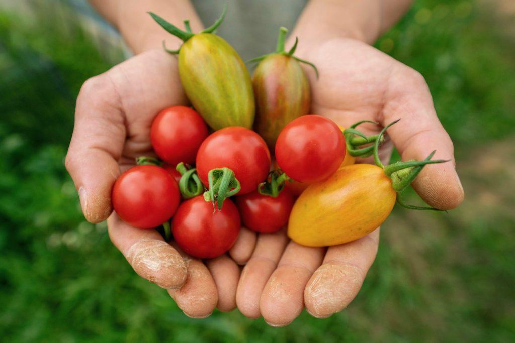 無農薬有機肥料ミニトマトほれまる